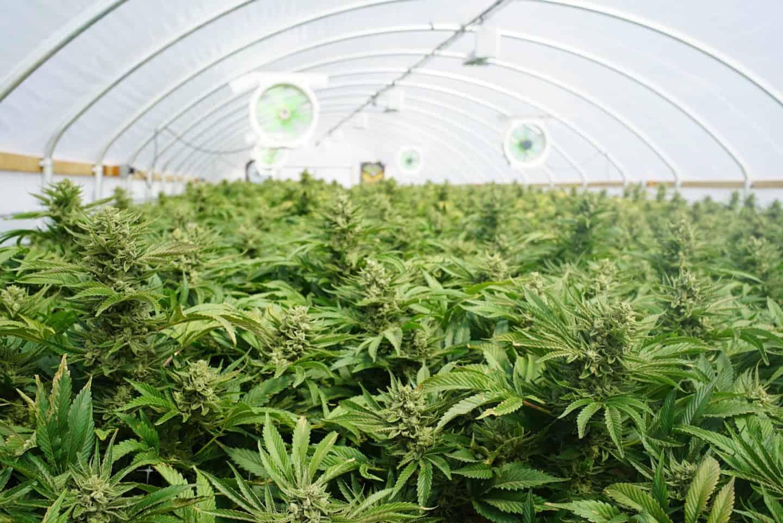 British Sugar Cannabis Factory